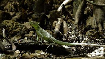 weiblicher smaragdgrüner Basilisk sitzt im Gezeitenfluss 1
