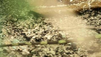 basilisco smeraldo femminile in natura 1