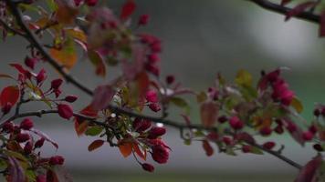 rosa blühender Zweig, der im Wind weht, wenn Regen fällt