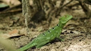 basilisco smeraldo femminile in natura 2