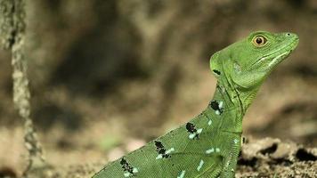 basilisco smeraldo femminile in natura 4