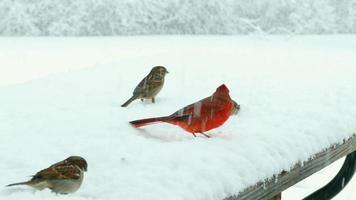 gli uccelli combattono per il becchime coperto di neve nella bufera di neve, la sopravvivenza invernale video