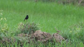 male and female pied bush chat bird in the rice field