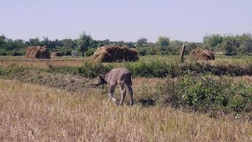 Water buffalo calf stepping towards its mother grazing in a field
