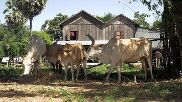 vacas e novilhas brancas e marrons amarradas em um curral video