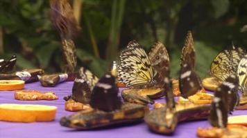 borboletas tropicais voando