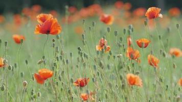 primer plano, de, un, amapola, flor, prado
