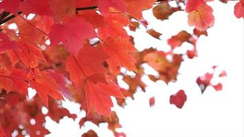 hojas rojas de otoño soplando suavemente en el viento, arce video