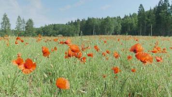 prato di fiori di papavero con foresta sullo sfondo