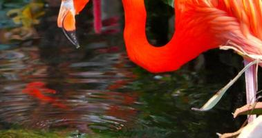 Flamingo Bird Drinking Water and Standing Up