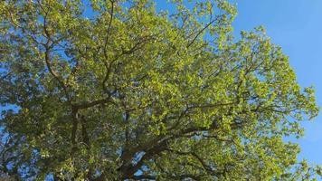 copa da árvore exuberante contra o céu azul video