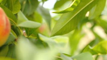 duraznos maduros en el árbol