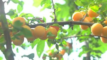 frutas amarelas no galho. video