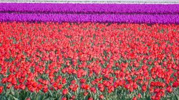 tulipano fiori in un campo di tulipani rossi