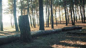 Logs of Trees in the Pine Forest Background video