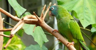 aves conure coronado azul, selva de América del Sur