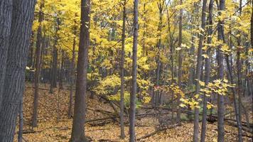 forêt d'automne remplie de feuilles jaunes tombant des arbres