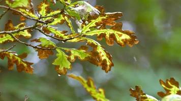 folhas de espinheiro em detalhes video