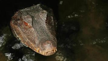 retrato de um crocodilo. congelou na água. Caiman Anão Cuviers video