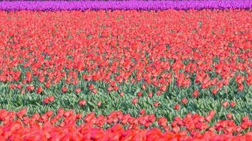 flores de tulipa em um campo de tulipas vermelhas video