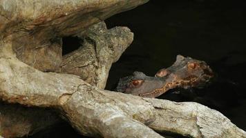 dois jovens cuviers anão jacaré sentado na água. caiman almizclado video