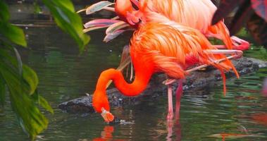 4K Two Flamingos in Tropical Stream, Jungle Forest, Lush Foliage