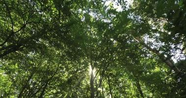 Panning through a forest canopy video