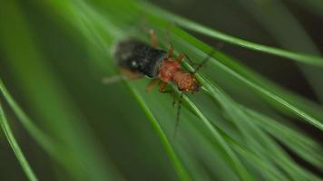 Macro 4k de bug em agulhas de pinheiro