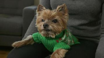 perro pequeño sentado en un regazo