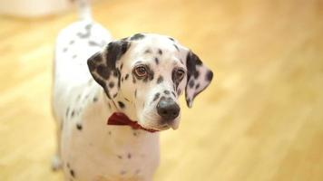 Chien de race dalmatien chien regardant la caméra