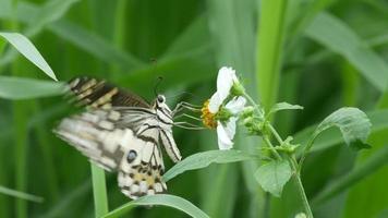 Schwalbenschwanzschmetterling, der Nektar von der Blume trinkt video