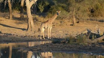 Giraffe nahe einem Wasserloch bei Sonnenuntergang. Wildtiersafari im Mapungubwe National Park, Reiseziel in Südafrika.