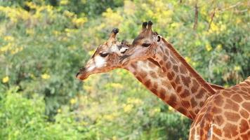 girafe camelopardalis rumine, gros plan.