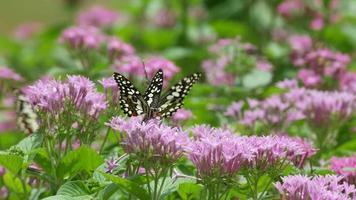 borboleta rabo de andorinha bebendo néctar de flor video