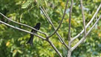 uccello nero drongo che salta sull'albero