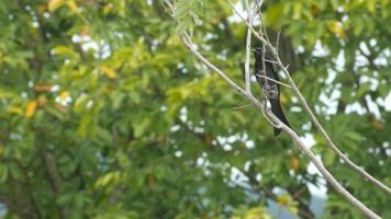 drongo nero con libellula intorno