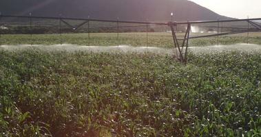 foto panorâmica de milharal irrigado video