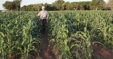agricultor inspeccionando cultivos de maíz
