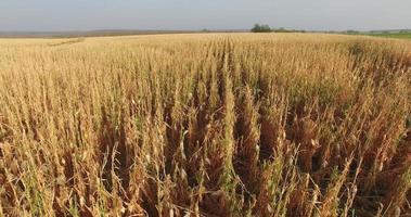 vista aérea de um campo de milho devastado por seca e granizo video