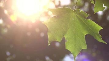 fondo de hojas de verano video