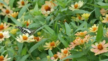 borboleta rabo de andorinha bebendo néctar de flor