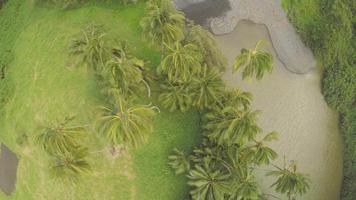 4k aéreo drone maui, hawaii palmeras por encima de la cabeza video