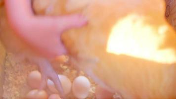pollo rimosso e uova raccolte dalla stia