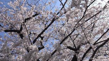 flores de cerezo, tokio japón.