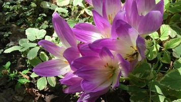 flores de azafrán rosa florecen video