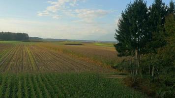 4k aérea: levantamento sobre milharal no outono
