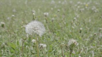 dente de leão na grama no verão com espaço de cópia