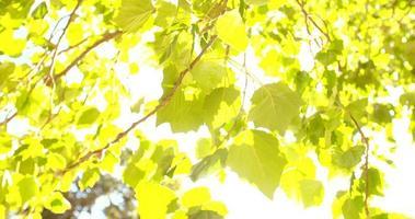 Pan que muestra el dosel verde de los árboles y la llamarada del sol video