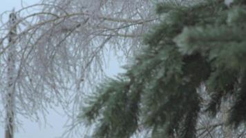 Thuja tree icy, freezing rain