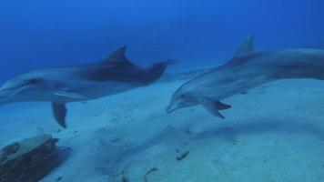 bottlenose dolphin video